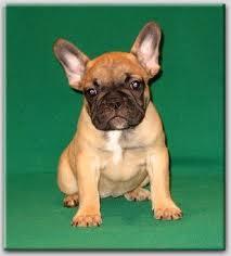 Koop franse bulldog pups van ons marktgigant - Thuis opslag bench wereld ...